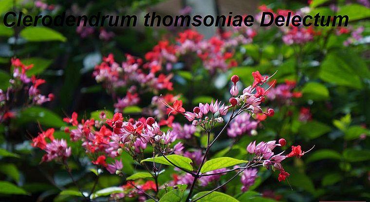Clerodendrum thomsoniae Delectum