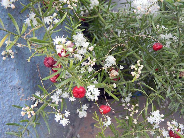 цветение аспарагуса
