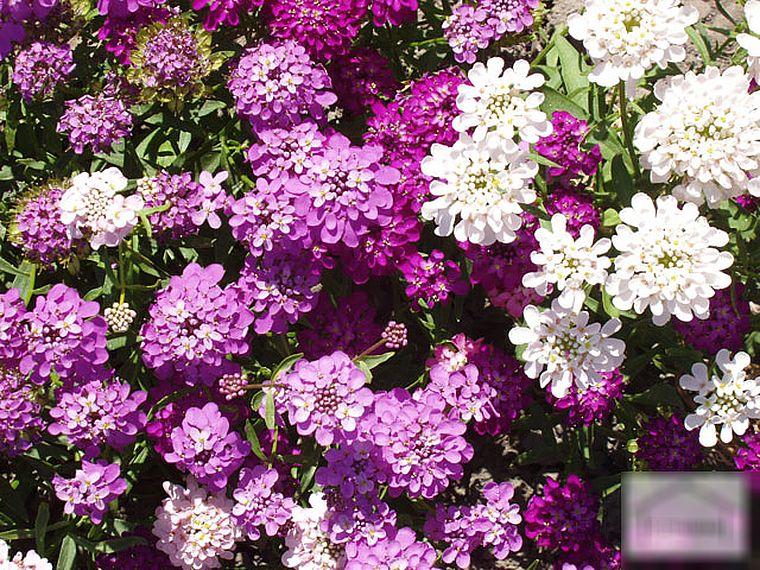 Иберис зонтичный - загадочное садовое чудо