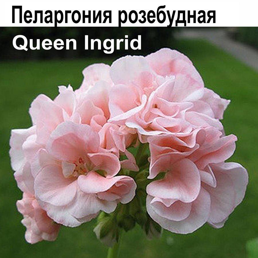 Queen Ingrid.