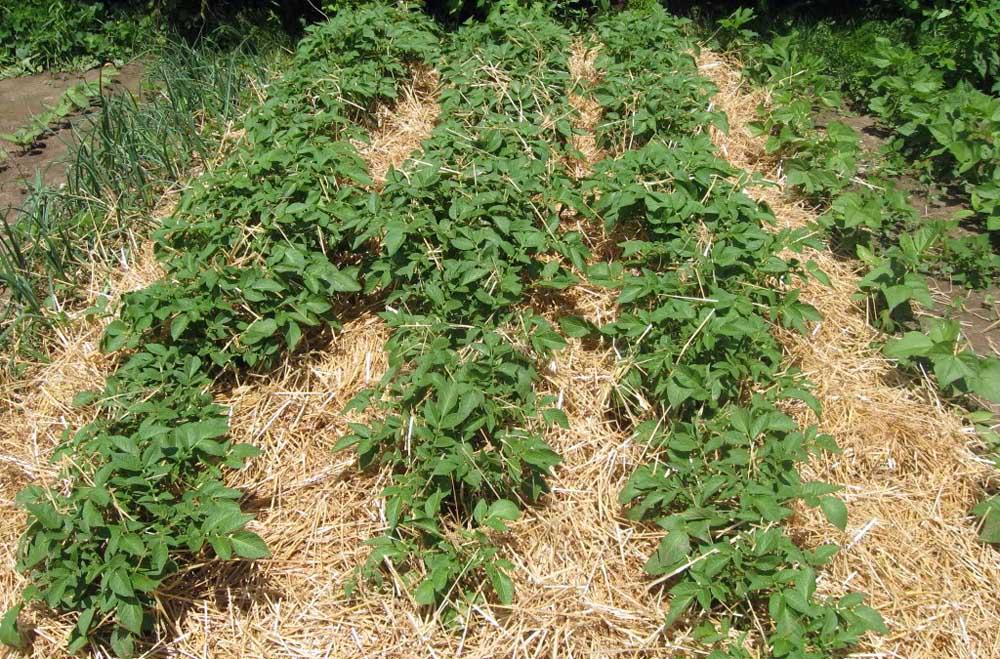 Грядки картофеля, посаженного под соломой