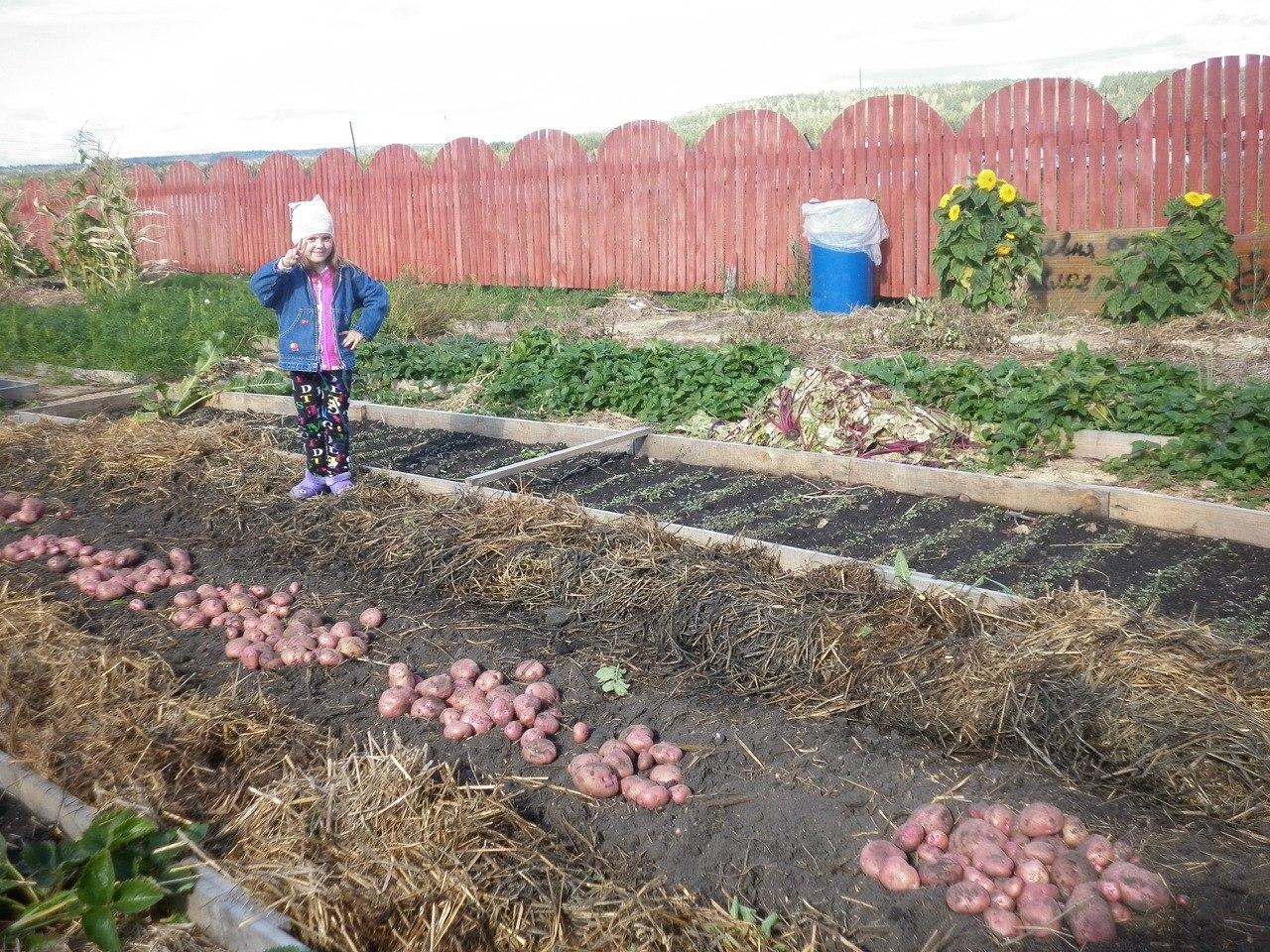Сбор урожая от картофеля под соломой