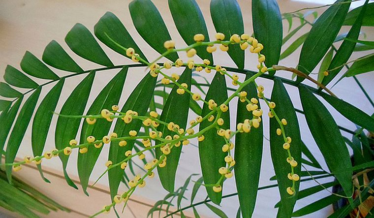 цветение хамедореи