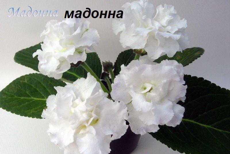 глоксиния мадонна