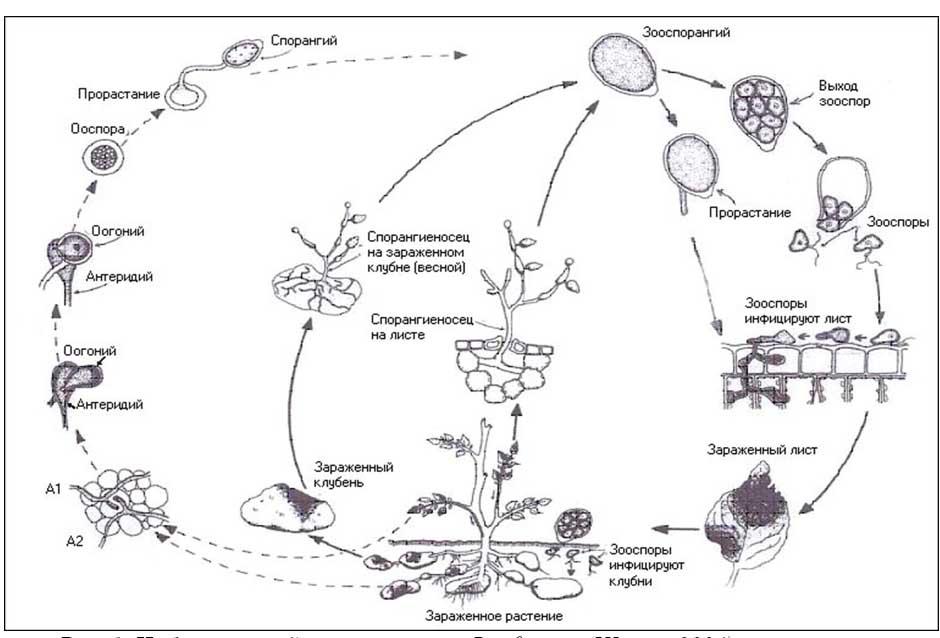 Жизненный цикл грибка фитофторы