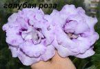 глоксиния голубая роза