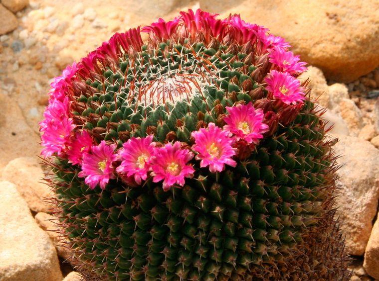 маммиллярия цветет