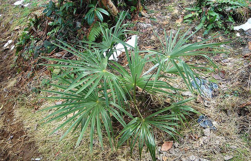 пальма в грунте