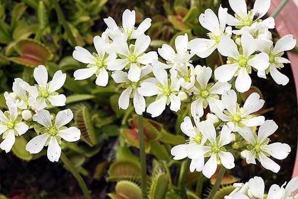 Цветы мухоловки