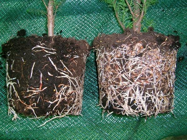 Без Корневина и с ним - рост корней