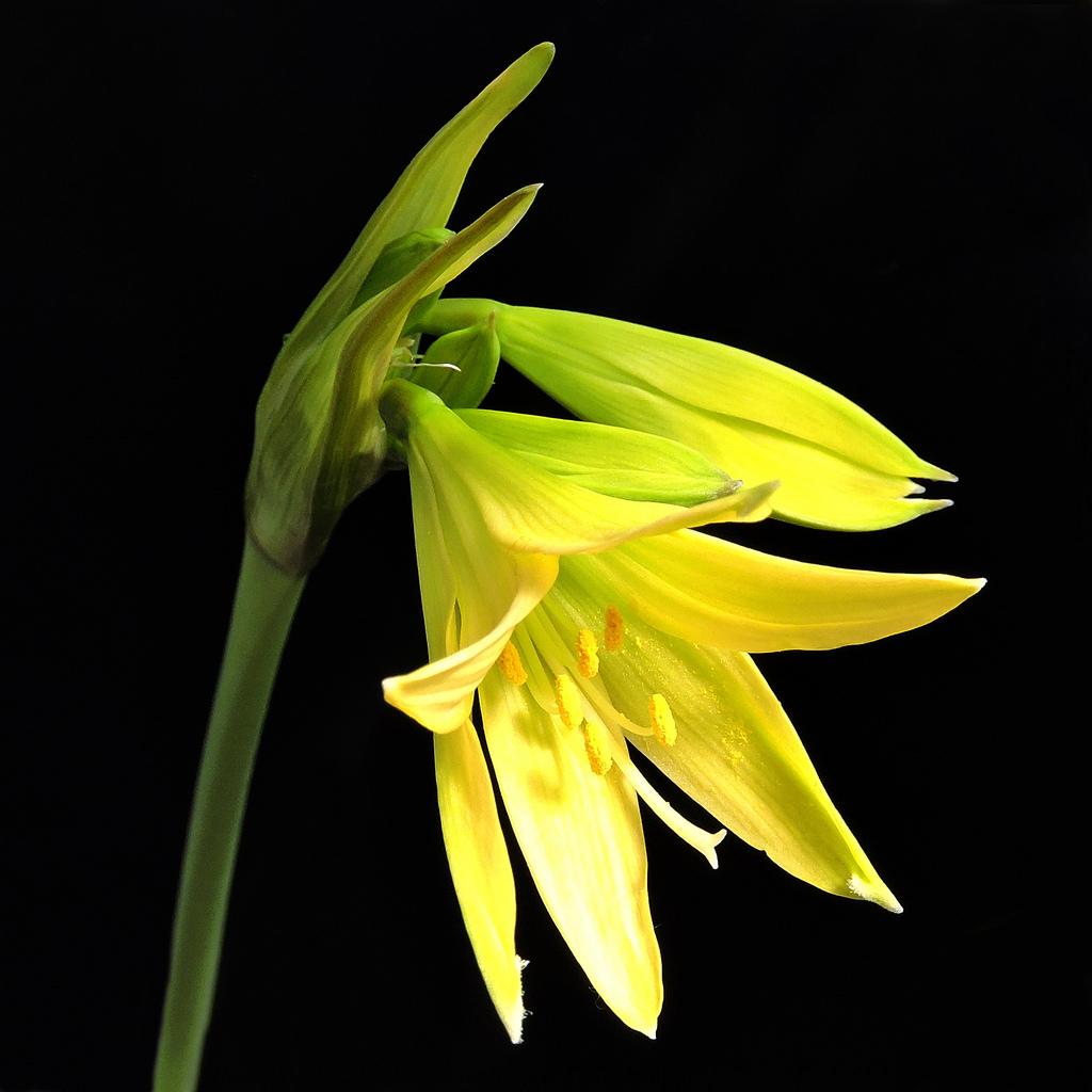 amaryllis bagnoldii