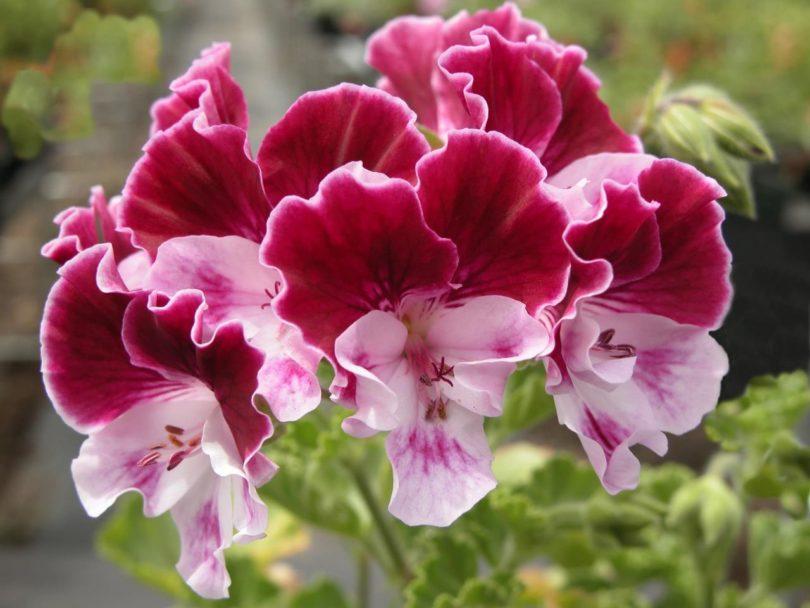 крупноцветковая пеларгония