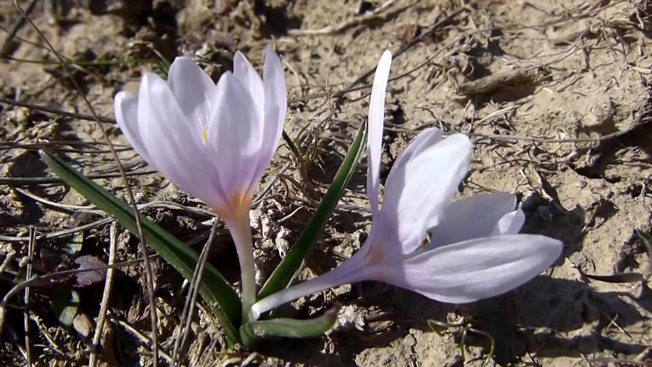 Colchicum ancyrense