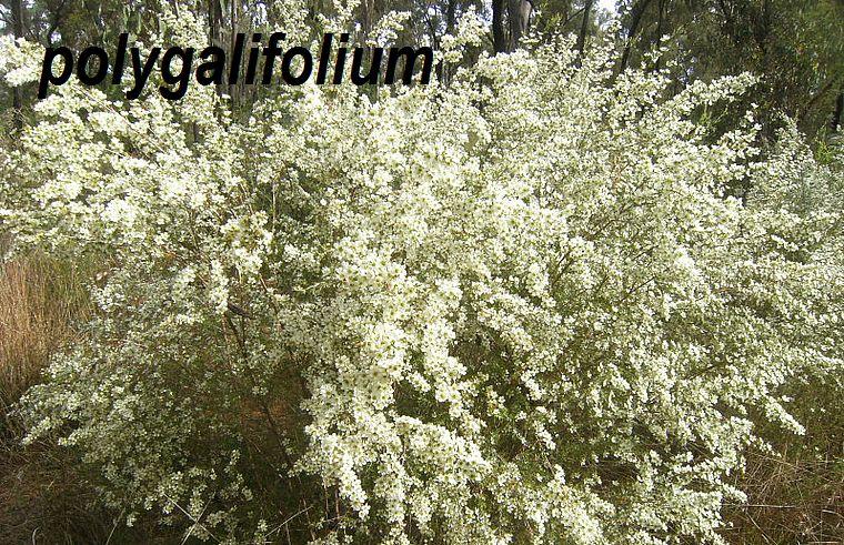 polygalifolium