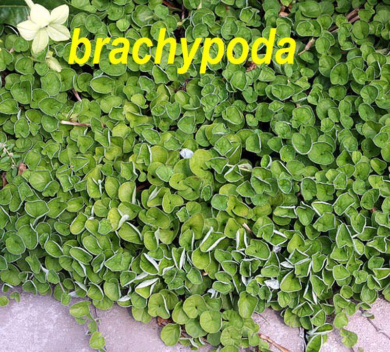 brachypoda