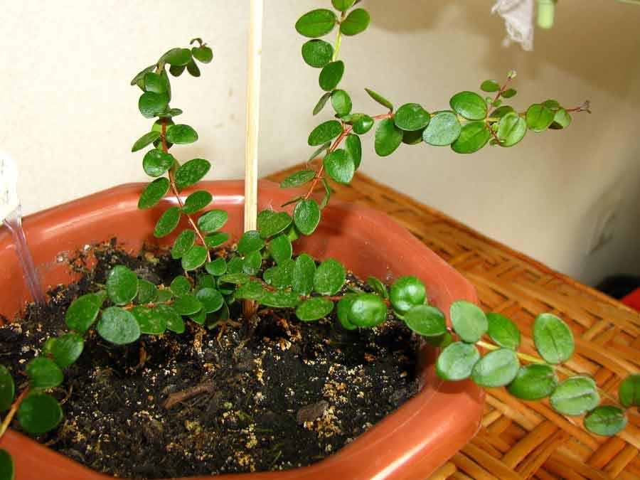 Grandifolia