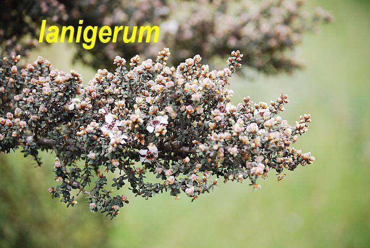 lanigerum
