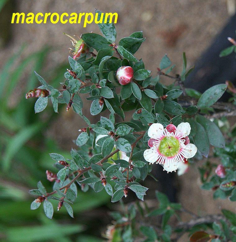 macrocarpum