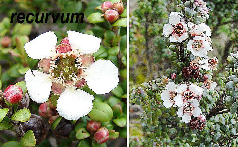 recurvum