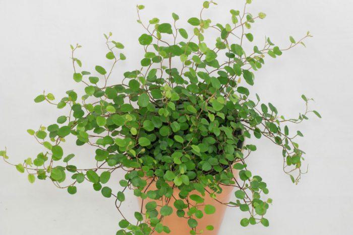 Microphylla