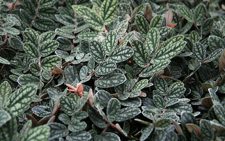 Pellionia pulchra