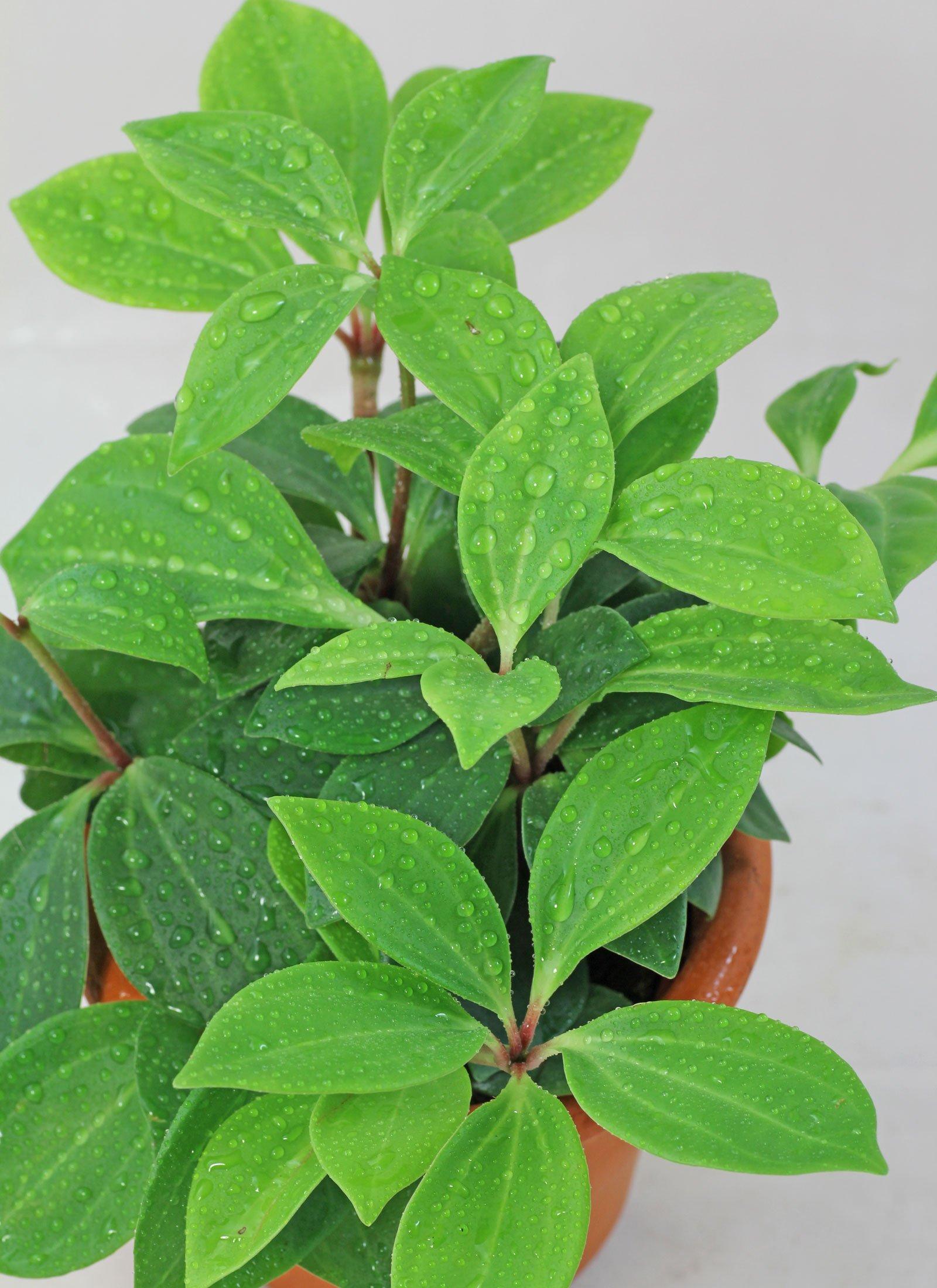 pereskiifolia