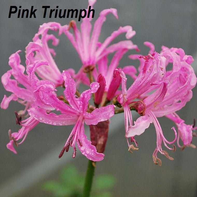 Pink Triumph