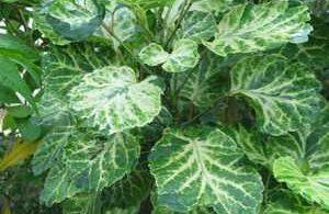 Polyscias obtusifolia