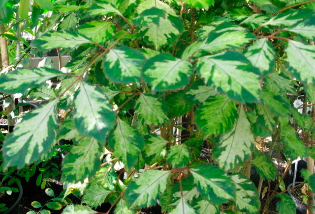 Polyscias paniculata