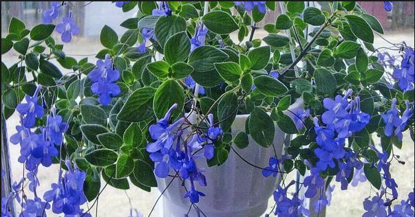Streptocarpella Blue Concord