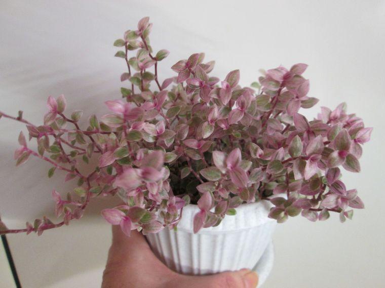 каллизия розовая