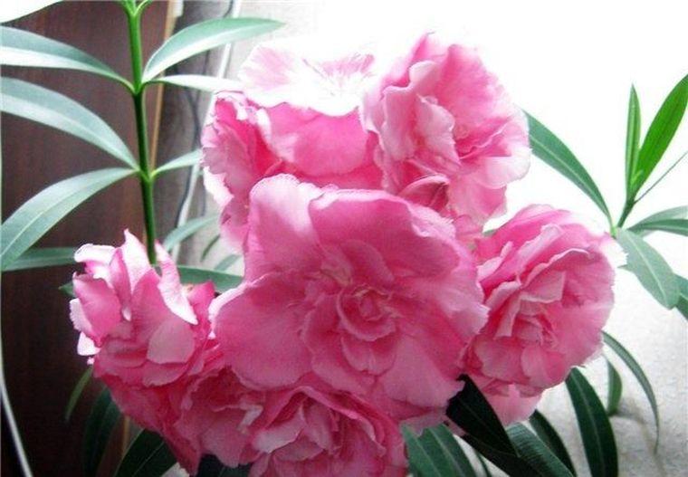розовый махровый
