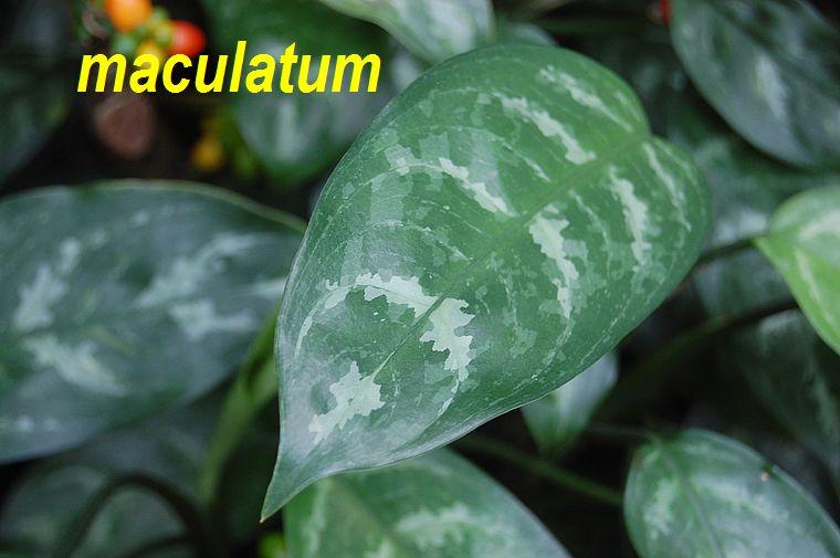 maculatum