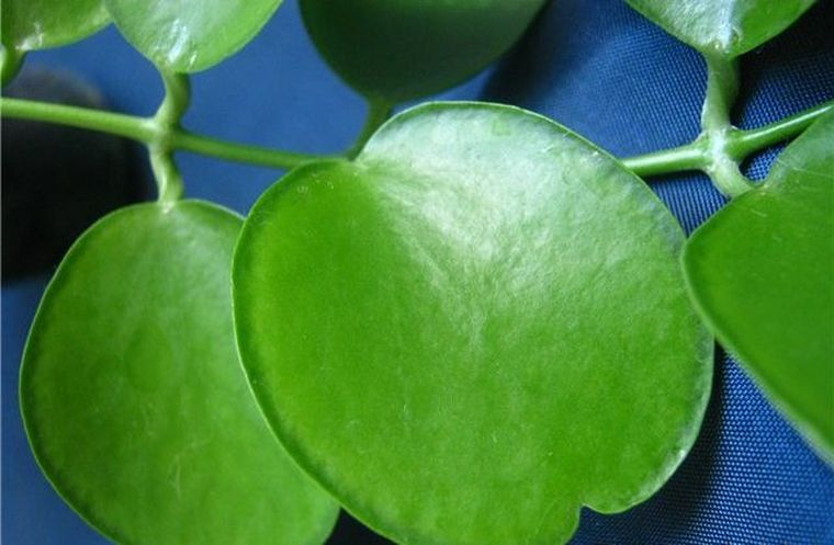 apple leaf