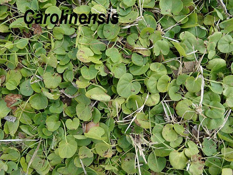 Carolinensis