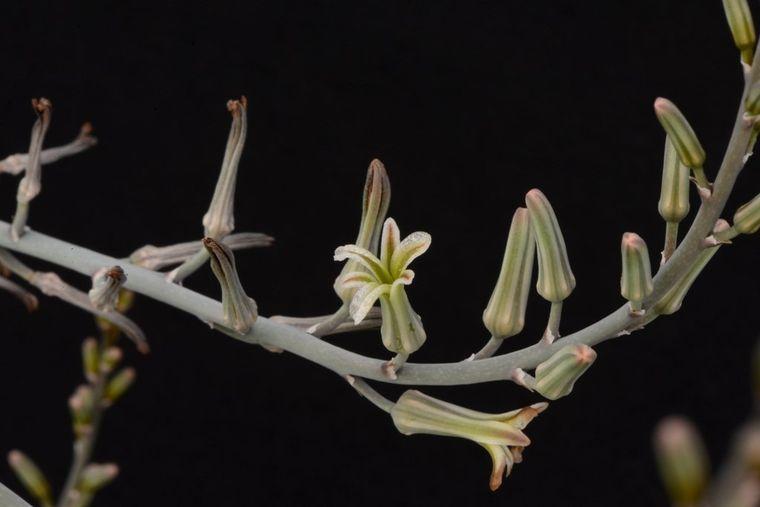 цветение хавортии