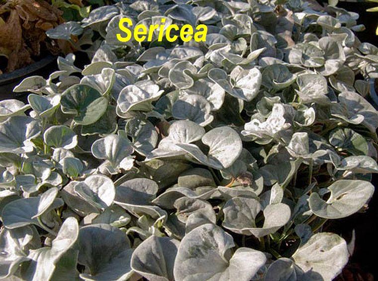 Sericea