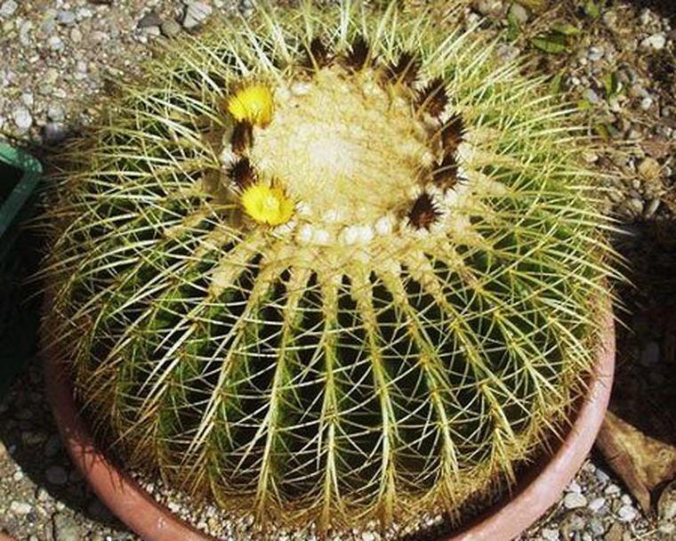 цветение эхинокактуса