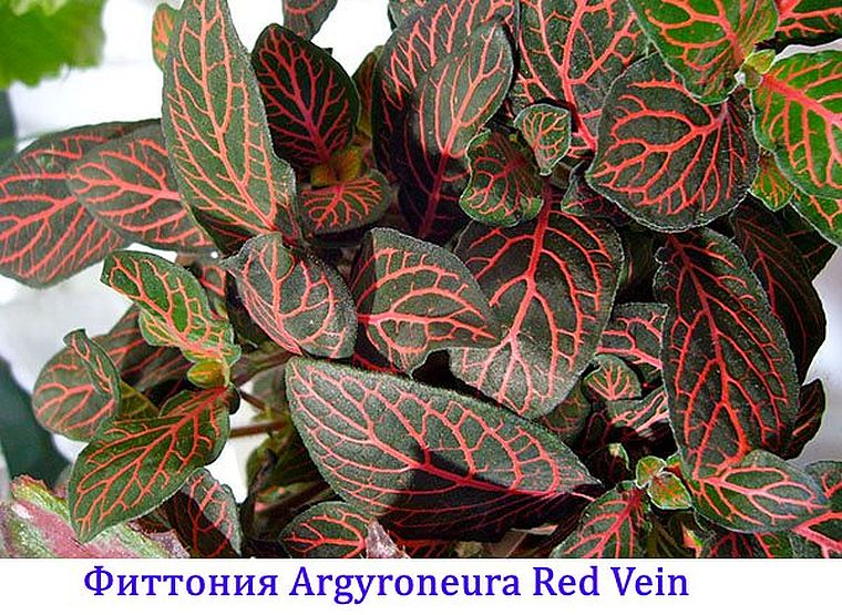Argyroneura Red Vein