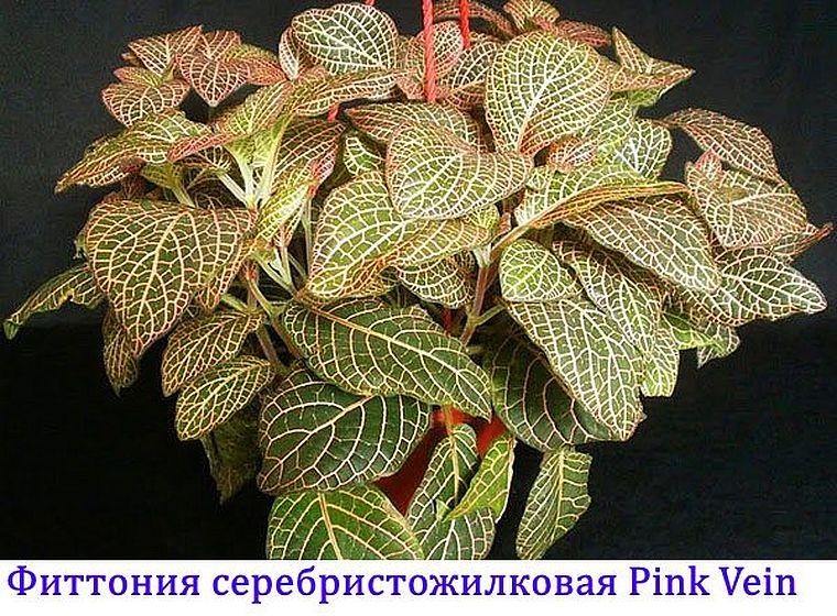 Pink Vein