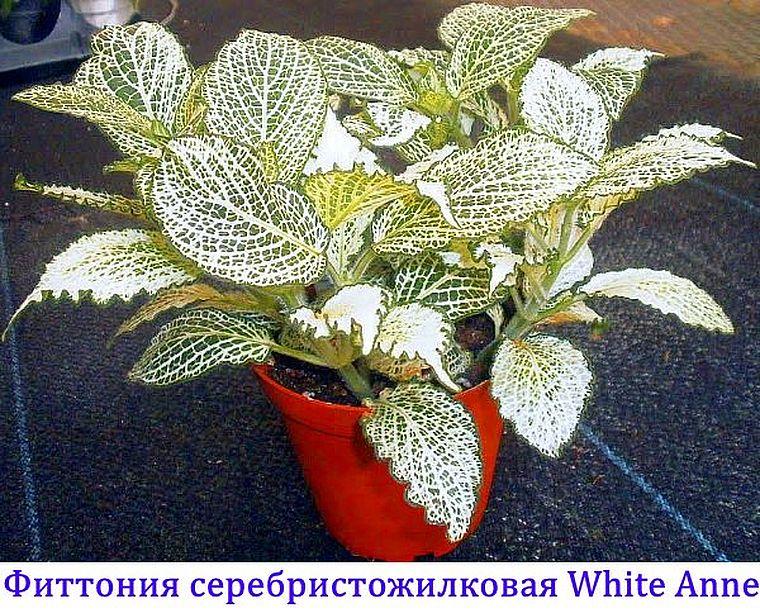 White Anne