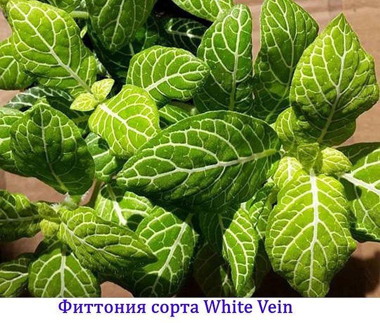 White Vein