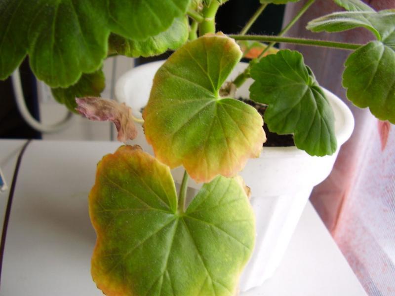 Желтизна листьев