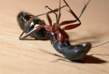 мертвый муравей
