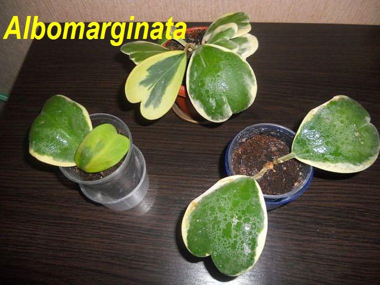 Albomarginata