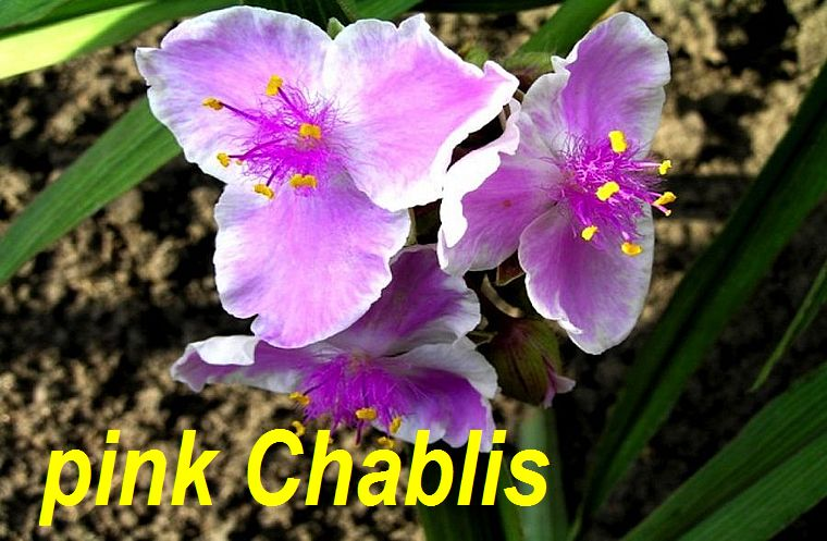 pink Chablis