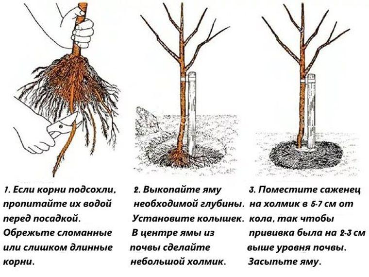 выращивание актинидии