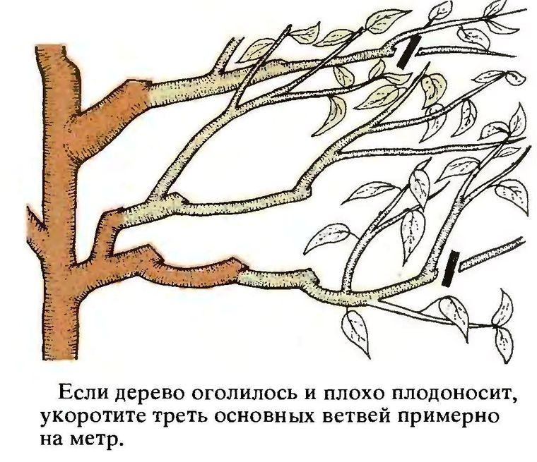 обрезка чудо-вишни