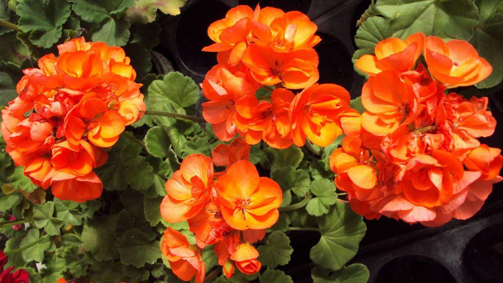 Рафаэлла F1 оранжевая