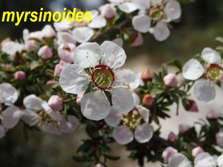 myrsinoides